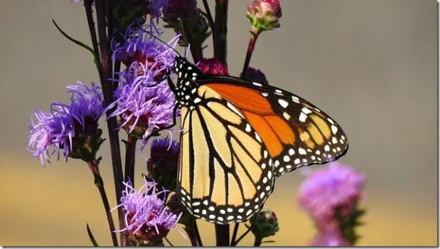 170821bbcut-monarch5