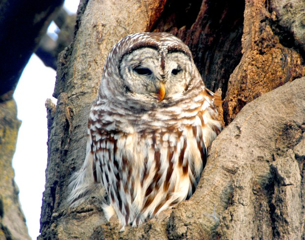 A barred owl perches in a tree in Minnehaha Falls Park in Minneapolis. (Pioneer Press file)