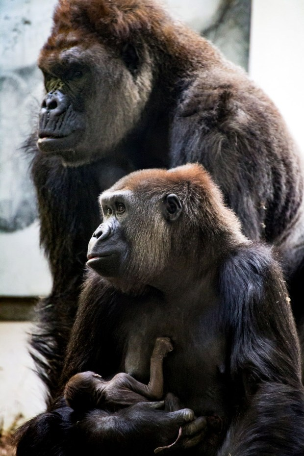 Alice, a western lowland gorilla, holds her new baby at Como Zoo in an Oct. 2017 courtesy photo. The baby female gorilla was born behind the scenes in the early hours of Wednesday, October 18, 2017, inside the Gorilla Forest exhibit dayroom to mother Alice. At approximately four pounds at birth, the baby gorilla appears healthy, strong, and is bonding with Alice. This is the second birth for Alice and the third gorilla birth in Como's 56 year history of caring for gorillas. The baby's father, Schroeder, a 31-year-old silverback western lowland gorilla, has been at Como Zoo since 1991. The addition of the baby western lowland gorilla brings Como Zoo's troop to nine gorillas: a six-member family troop and a three-member bachelor troop.(Courtesy of Como Park Zoo and Conservatory)