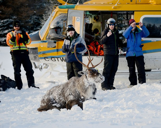 011618.N.DNT.caribouC1-- A caribou helicoptered from Michipichoten Island on lake Superior is released on the Slate Islands over the weekend. Ontario wildlife officials are trying to save some of the region's last caribou herd by moving them to an island with no wolves. Photo courtesy Ontario Ministry of Natural Resources and Forestry.