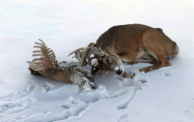 Snowmobiler Jake Cosley spotted this deer, entangled with the head of another deer that died, on the Red River south of Pembina, N.D., on Wednesday, Feb. 7, 2018. Cosley, 23, of Pembina, freed the deer. (Courtesy of Jake Cosley via Forum News Service)