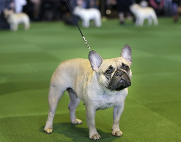A French bulldog competes at the Westminster Kennel Club show Feb. 16, 2015, in New York. The French bulldog has bolted from 76th to fourth in just 20 years. (AP Photo/Seth Wenig, File)