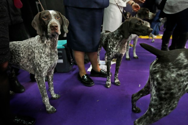 German shorthaired pointers wait to enter the ring during the 142nd Westminster Kennel Club Dog Show in New York, Tuesday, Feb. 13, 2018. American Kennel Club rankings show Labs remain the country's most popular purebred dog for a 27th year. The German shorthaired pointer cracked the top 10 for the first time. (AP Photo/Seth Wenig)