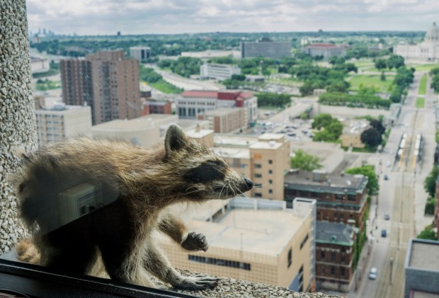 A raccoon stretches itself on the window sill of the Paige Donnelly Law Firm on the 23rd floor of the UBS Tower in St. Paul, Minn., Tuesday, June 12, 2018. The raccoon stranded on the ledge of the building in St. Paul captivated onlookers and generated interest on social media after it started scaling the office building. (Evan Frost/Minnesota Public Radio via AP)
