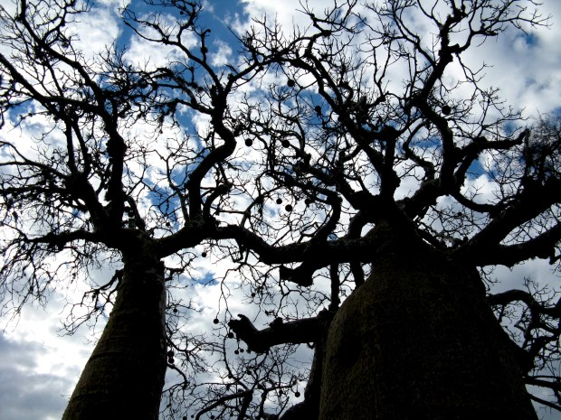 The spindly limbs of baobab trees in Parc Mosa. The bulging trunks are fibrous and saturated with water. (Photo by Jeanine Barone for The Washington Post)