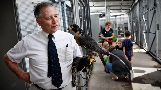 Pat Redig, president of the University of Minnesota Raptor Center in St. Paul, visits with Artemis, a 17-year-old Peregrine Falcon in the permanent collection of the center on Thursday, June 14. 2018. Redig is retiring after 45 years of service. After pioneering a small, underfunded operation, the raptor center has grown exponentially due to Redig's devotion to helping injured and neglected raptors and educating the public. (Jean Pieri / Pioneer Press)