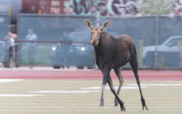 N.D. wildlife officials opposed drugging UND moose, citing consumption risk to hunters