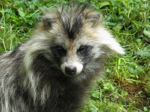 Never heard of the Minnesota raccoon dog, either? We are lucky