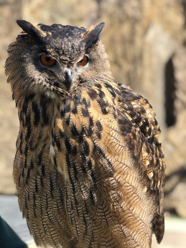 Have you seen this owl? Minnesota Zoo is looking for it after flying away from handlers