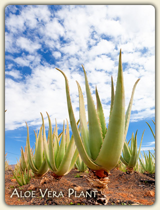 Medicinal Uses of Aloe Vera