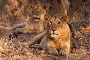 Sasan-Gir Wildlife Sanctuary, Gujarat