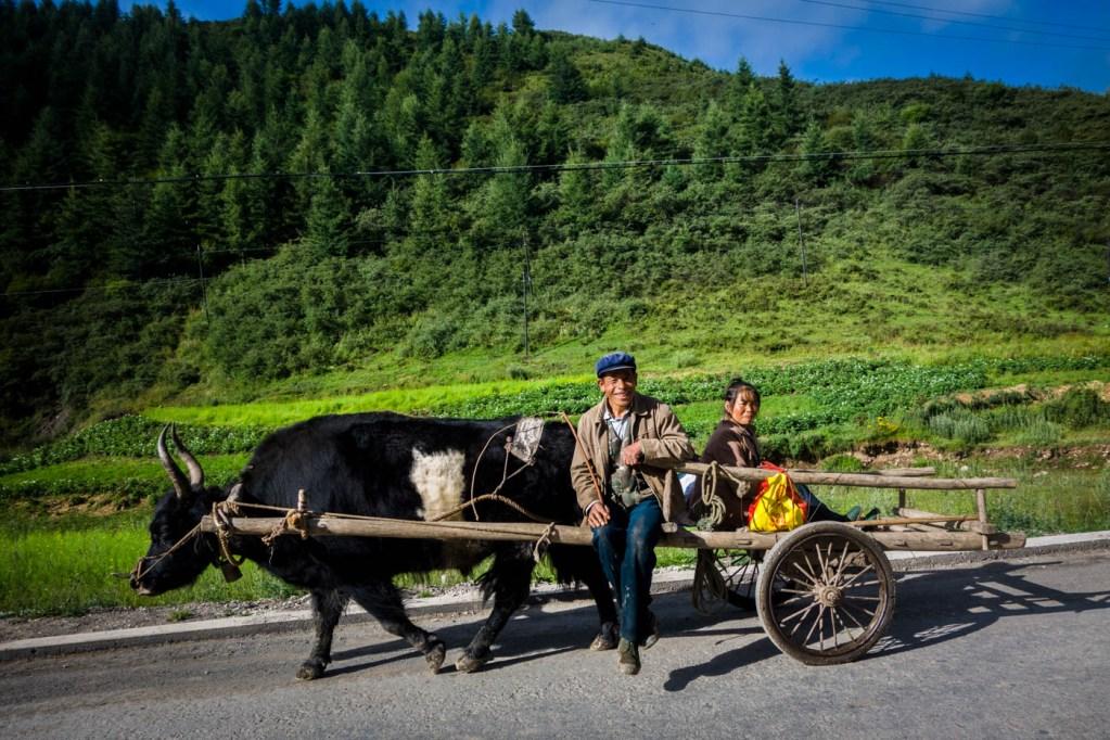 Yak pulling cart