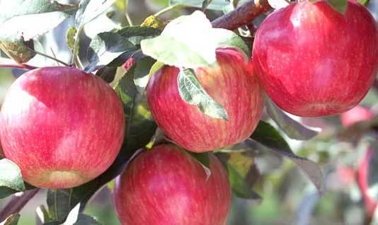Apple farmer Happy