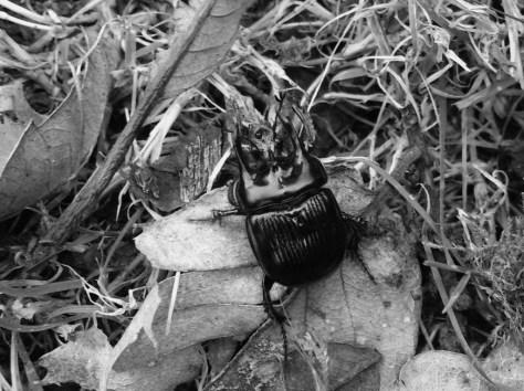 Minotaur Beetle 2