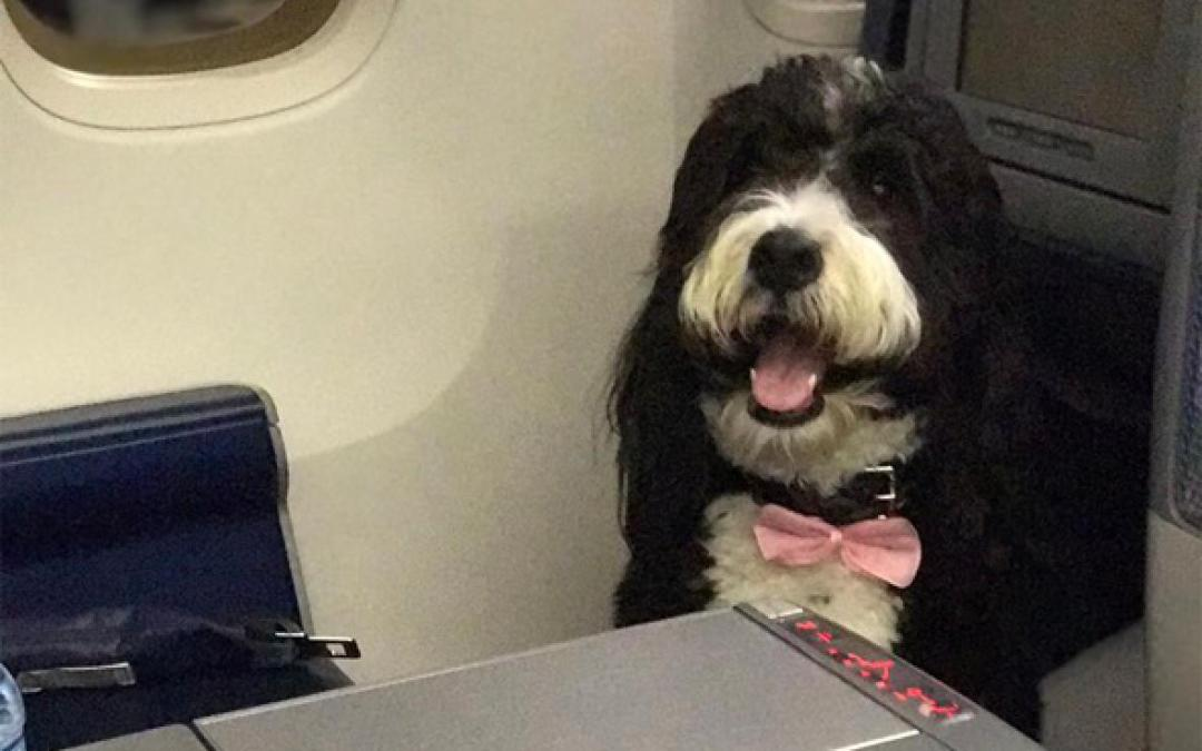 Someone Complained About Sitting Next To This Dog In A Bowtie Because Some People Are Just Awful