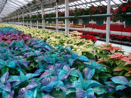 George's Nursery in Latham is Pimpin' Out Poinsettias This Holiday Season