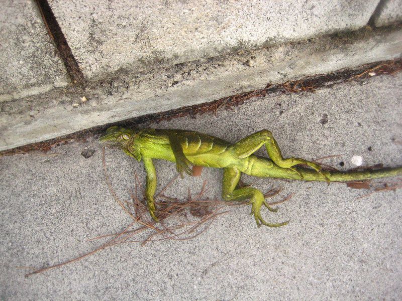 Frozen Iguanas Are Literally Falling Out of Trees in Florida
