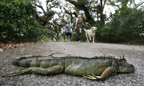 Today I Learned That Just Because Iguanas Are Frozen, Gray, and Stiff, Doesn't Mean They Won't Come Back To Life A Week Later!