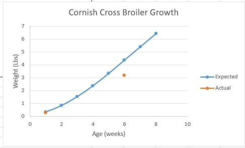 Cornish Cross leg problems
