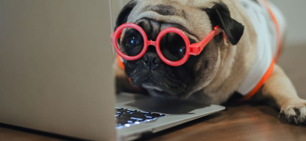A,Pug,Working,Use,Laptop,For,Work.