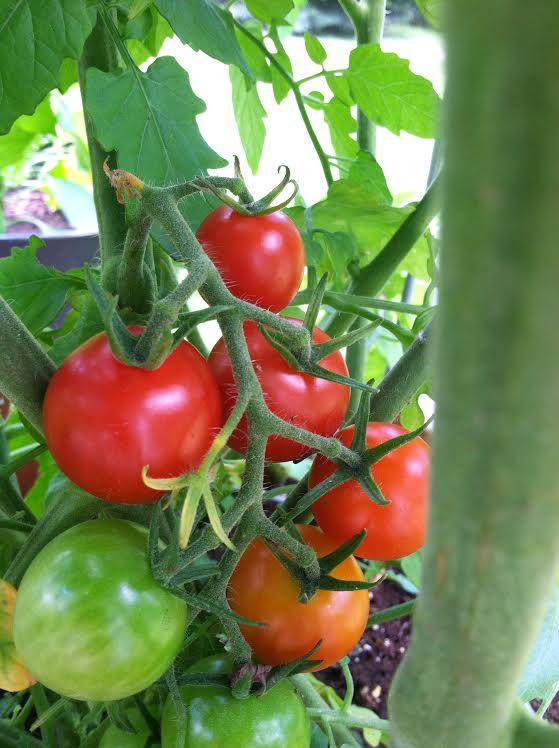 garden cherry tomatoes