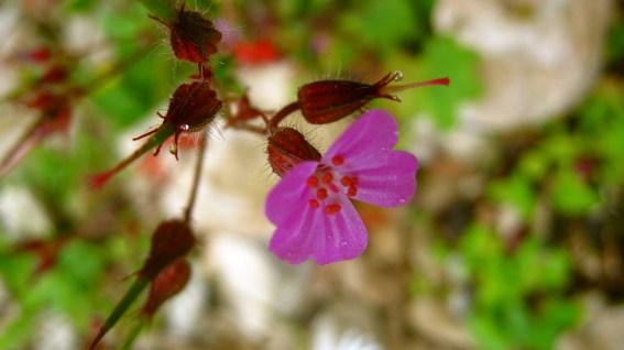Silène - Caryophyllaceae