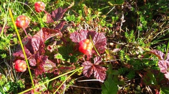 Molte (norvégien) - Plaquebière (français) - Rubus Chamaemorus