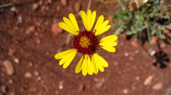 Red Dome Blanket Flower – Gaillardia Pinnatifida