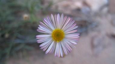 Mojave Aster - Xylorhiza Tortifolia