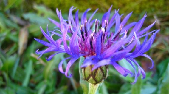 Centaurée des Montagnes - Centaurea Montana