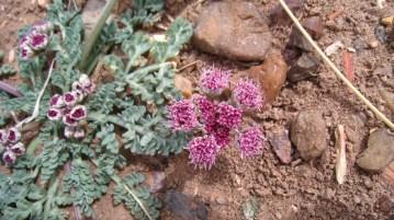 Bulbous Springparsley - Cymopterus Bulbosus