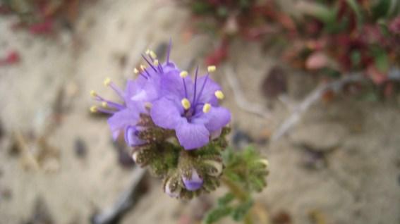 Wild Heliotrope - Common Phacelia