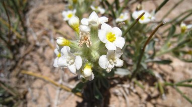 Yellow-eye Cryptanth – Cryptantha Flavoculata