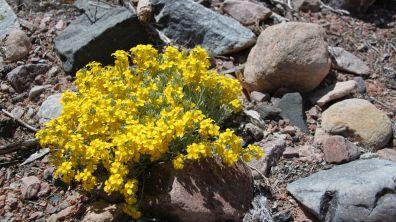 Bladderpod - Isomeris Arborea