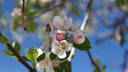 Cherry Flower - Prunus Cerasus