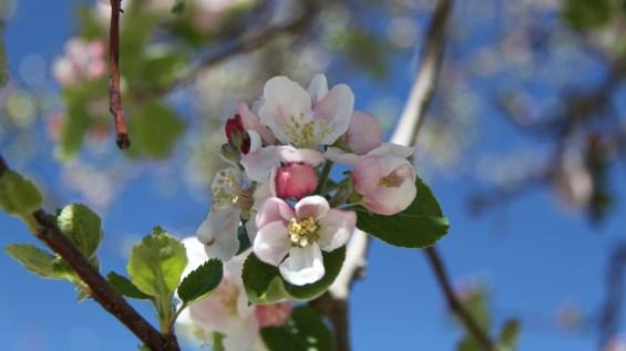 Cherry Flower - Prunus Cerasus