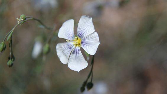 Prairie Flax - Linum Lewisii