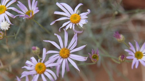 Purple Aster - Symphyotrichum Puniceum