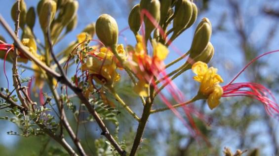 Mexican Bird of Paradise - Caesalpinia Pulcherrima