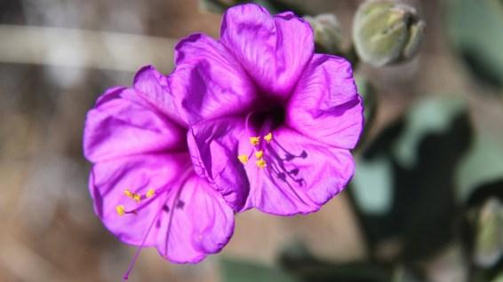 Colorado Four O'Clock - Mirabilis Multiflora