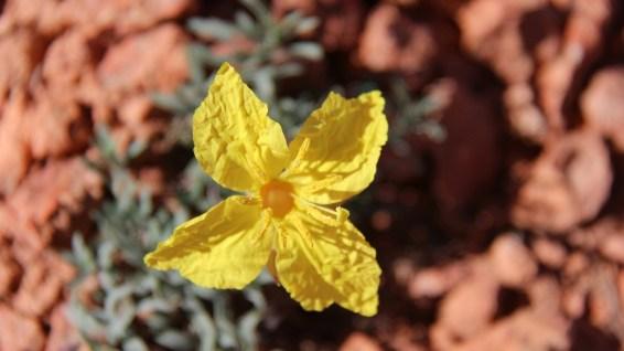 Lavenderleaf Sundrops - Calylophus Lavandulifolius