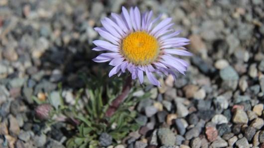 Western Mountain Aster - Symphyotrichum Spathulatum
