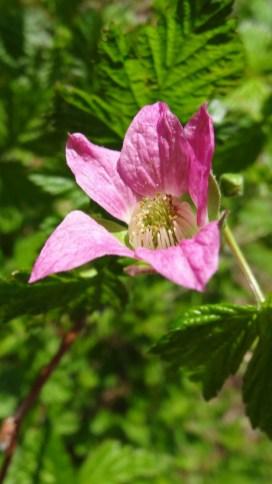 Wild Rose - Rosa