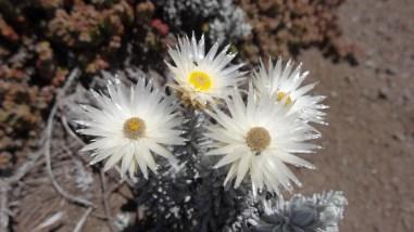 Everlasting flowers - Helichrysum