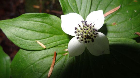 Western Cordilleran Bunchberry – Cornus Canadensis
