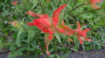 Common Paintbrush - Castilleja