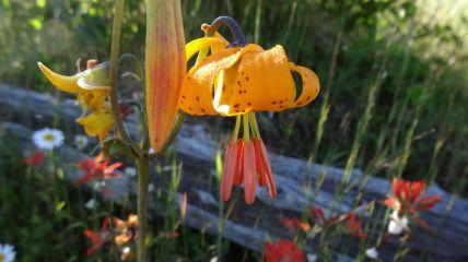 Tiger Lily - Lilium Columbianum