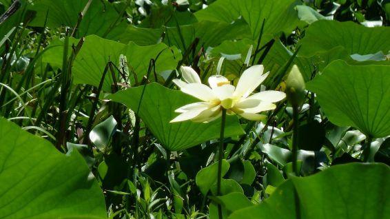 American White Waterlily - Nymphaea Odorata