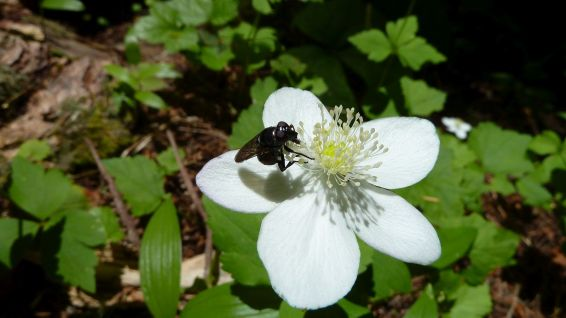 White Globeflower - Trollius Laxus
