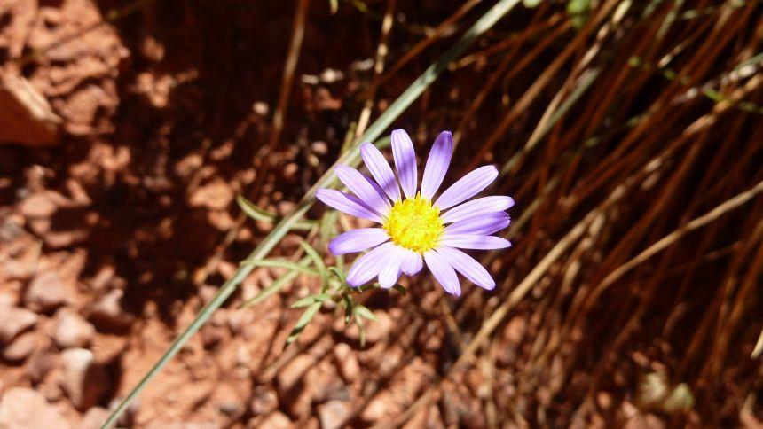 Hoary Tansyaster - Dieteria Canescens